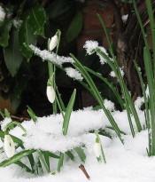 800px-snowdrop-en_wikipedia_org