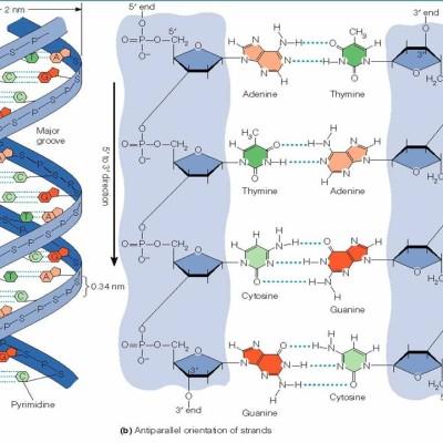 0035-035-Stroenie-DNK-i-RNK